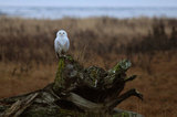 SNOWY OWL BOUNDARY BAY