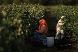 14 September 2012 - Workers pick blueberries in a field at Gill & Sons Berryland Farms, in Surrey, B.C., Canada. Credit: Adrian Brown - N49Photo.