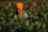 14 September 2012 - A worker picks blueberries in a field at Gill & Sons Berryland Farms, in Surrey, B.C., Canada. Credit: Adrian Brown - N49Photo.
