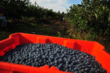 14 September 2012 - A container of blueberries is seen in a field at Gill & Sons Berryland Farms, B.C., Canada. Credit: Adrian Brown - N49Photo.