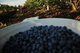 SURREY BLUEBERRY HARVEST.