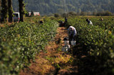 12 September 2012 - Workers pick blueberries in a field at Surrey Farms, in Surrey, B.C., Canada. Credit: Adrian Brown - N49Photo.