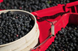 12 September 2012 - Blueberries are seen in buckets in a field at Surrey Farms, in Surrey, B.C., Canada. Credit: Adrian Brown - N49Photo.
