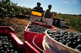 12 September 2012 - Two workers rest at the end of the day after hand picking blueberries in a field at Surrey Farms, in Surrey, B.C., Canada. Credit: Adrian Brown - N49Photo.
