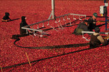 05 October 2012 - Workers corrall cranberries and feed them into a machine, in a flooded field at a farm owned by Richberry Group of Companies, reportedly the largest grower in Canada, in Richmond, B.C., Canada. Credit: Adrian Brown - N49Photo.