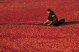 05 October 2012 - A worker adjusts booms while corralling cranberries in a flooded field at a farm owned by Richberry Group of Companies, reportedly the largest grower in Canada, in Richmond, B.C., Canada. Credit: Adrian Brown - N49Photo.