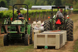01 October 2012 - Workers use tractors to move large bins of freshly picked Siegerrebe grapes, at Domaine de Chaberton Estate Winery, in Langley, B.C., Canada. The Siegerrebe white wine grape, a cross between Madeleine Angevine and Gewürztraminer, has a light red or pink coloured skin, and will be used by the winery to make a varietal white wine. Credit: Adrian Brown - N49Photo.