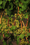 01 October 2012 - Bacchus grapes are seen several weeks before harvest at Domaine de Chaberton Estate Winery, in Langley, B.C., Canada. Credit: Adrian Brown - N49Photo.
