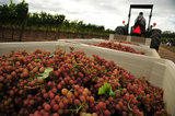 01 October 2012 - A worker uses a tractor to move large bins of freshly picked Siegerrebe grapes, at Domaine de Chaberton Estate Winery, in Langley, B.C., Canada. The Siegerrebe white wine grape, a cross between Madeleine Angevine and Gewürztraminer, has a light red or pink coloured skin, and will be used by the winery to make a varietal white wine. Credit: Adrian Brown - N49Photo.