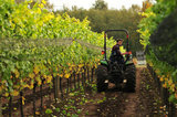 17 October 2012 - Scott, a vineyard assistant, drives a tractor between grape vines to retrieve large bins of freshly harvested Bacchus grapes, at Domaine de Chaberton Estate Winery, in Langley, B.C., Canada. The Bacchus white wine grape is a German varietal, related to Riesling, and will be used by the winery to make their signature varietal white wine. Credit: Adrian Brown - N49Photo.