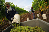17 October 2012 - A worker empties a pail of Bacchus wine grapes into a large bin during harvest, at Domaine de Chaberton Estate Winery, in Langley, B.C., Canada. The Bacchus white wine grape is a German varietal, related to Riesling, and will be used by the winery to make their signature varietal white wine. Credit: Adrian Brown - N49Photo.