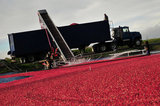 29 October 2012 - Workers corrall cranberries and move them toward a conveyor system, in a flooded field at Eagle View Farms Ltd., in Delta, B.C., Canada. Credit: Adrian Brown - N49Photo.