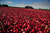 29 October 2012 - Cranberries are seen being moved to a conveyor system in a flooded cranberry field, at Eagle View Farms Ltd., in Delta, B.C., Canada. Credit: Adrian Brown - N49Photo.
