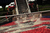 29 October 2012 - Cranberries are seen being moved to a conveyor system in a flooded field at Eagle View Farms Ltd., in Delta, B.C., Canada. Credit: Adrian Brown - N49Photo.