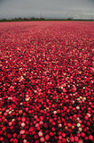 29 October 2012 - Cranberries are seen in a flooded field at Eagle View Farms Ltd., in Delta, B.C., Canada. Credit: Adrian Brown - N49Photo.