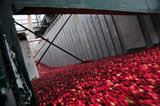 22 October 2012 - Cranberries flow from a truck as it is filled with water, at the brand new, state-of-the-art Ocean Spray of Canada Ltd., Richmond Receiving Station, in Richmond, B.C., Canada. Credit: Adrian Brown - N49Photo.