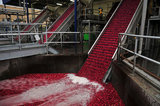 22 October 2012 - Cranberries are moved onto a conveyor system at the brand new, state-of-the-art Ocean Spray of Canada Ltd., Richmond Receiving Station, in Richmond, B.C., Canada. Credit: Adrian Brown - N49Photo.