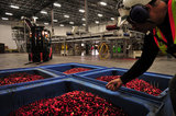 22 October 2012 - A worker inspects cranberries that have been removed by a probing machine (for tracking and archiving purposes), at the brand new, state-of-the-art Ocean Spray of Canada Ltd., Richmond Receiving Station, in Richmond, B.C., Canada. Credit: Adrian Brown - N49Photo.