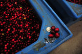 22 October 2012 - A five cent coin is posed beside cranberries for size comparison, at the brand new, state-of-the-art Ocean Spray of Canada Ltd., Richmond Receiving Station, in Richmond, B.C., Canada. Credit: Adrian Brown - N49Photo.