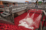 22 October 2012 - A worker monitors activity as he walks above receiving pools at the brand new, state-of-the-art Ocean Spray of Canada Ltd., Richmond Receiving Station, in Richmond, B.C., Canada. Credit: Adrian Brown - N49Photo.