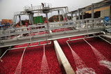 22 October 2012 - A worker monitors the flow of water into the top of a tractor trailer load of cranberries, at the brand new, state-of-the-art Ocean Spray of Canada Ltd., Richmond Receiving Station, in Richmond, B.C., Canada. Credit: Adrian Brown - N49Photo.