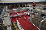 22 October 2012 - A worker watches as a tractor trailer load of cranberries parks in an unloading area, at the brand new, state-of-the-art Ocean Spray of Canada Ltd., Richmond Receiving Station, in Richmond, B.C., Canada. Credit: Adrian Brown - N49Photo.